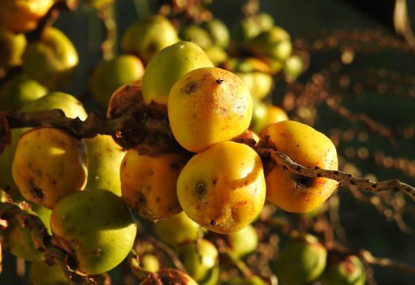 Butiá es un tipo de coco que produce licores y cachaça - Foto: Glaidson Verzeletti / Flickr