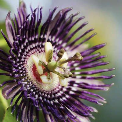Passiflora se alía contra la depresión - Foto: getty Images