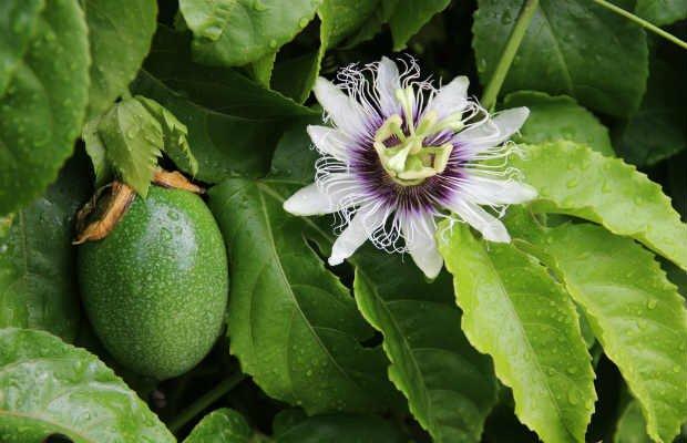 Aprenda todo sobre Passiflora - Foto: Getty Images